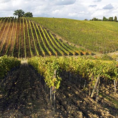 http://aziendevinicole.it/foto_esercizi/72684/frame/azienda_agricola_il_ciliegio.jpg
